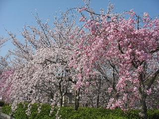 2008年4月桜005.JPG