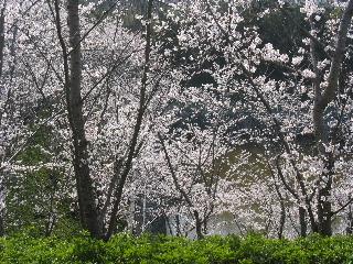 2008年4月桜010.JPG