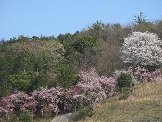 2008年4月桜015.JPG