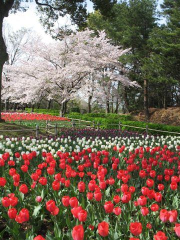 2008年桜と大阪出張020.jpg